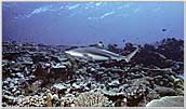 Papua New Guinea Blacktip Reef Shark Cruises Above Reef.